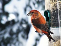 Male Red Crossbill (1)
