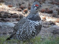 Spruce Grouse Male (12)